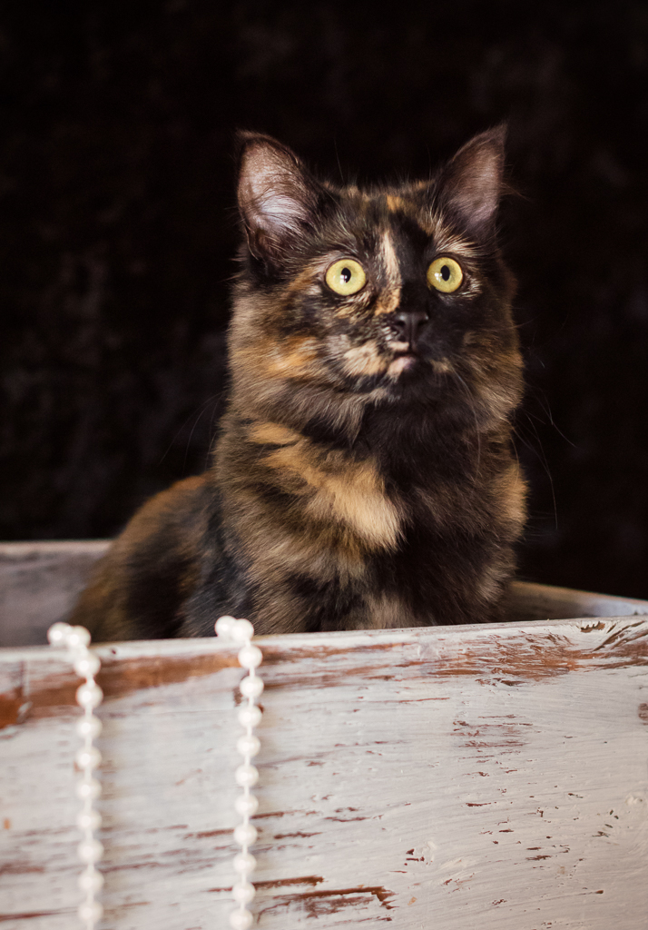 Calico Portrait At Home