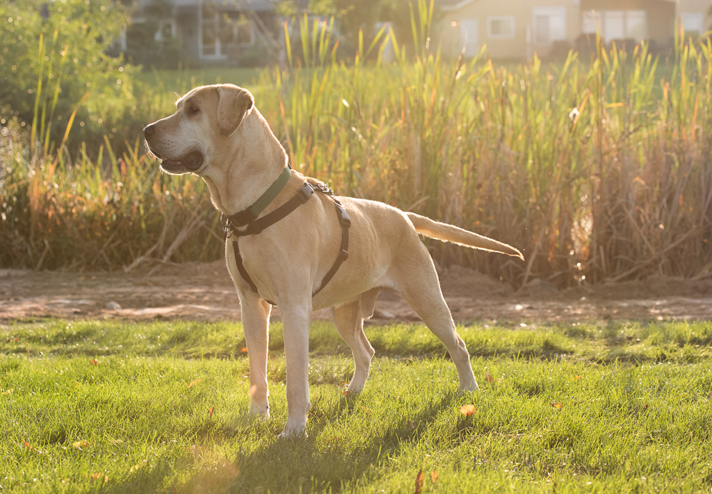 Yellow Lab Male